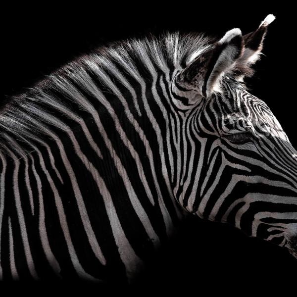 Subterranean †zebra