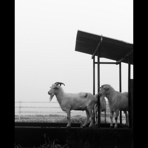 †goats